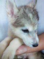 Foto 6 Die letzten drei Welpen von Siberian Husky suchen ein neues Zuhause.