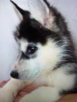 Foto 7 Die letzten drei Welpen von Siberian Husky suchen ein neues Zuhause.