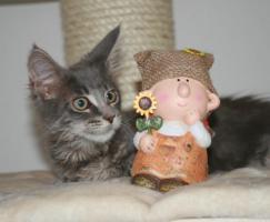 Foto 2 Dieser zauberhafte Maine Coon Kobold sucht ein liebevolles zu Hause