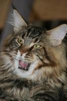 Foto 5 Dieser zauberhafte Maine Coon Kobold sucht ein liebevolles zu Hause