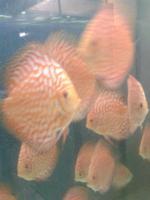 Foto 3 Diskusfische 4-11 cm
