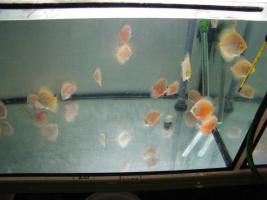 Foto 8 Diskusfische in verschiedenen Farben und Größen