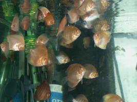 Foto 2 Diskusfische in verschiedenen Farben und größen