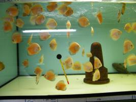 Foto 2 Diskusfische  vom Privatzüchter ab 6 €