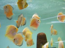 Foto 3 Diskusfische  vom Privatzüchter ab 6 €