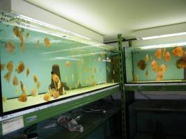 Foto 8 Diskusfische  vom Privatzüchter ab 6 €