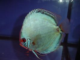 Foto 2 Diskusfische / kaufen Sie 5 und Sie erhalten 2 gratis!!!