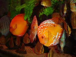 Foto 3 Diskusfische / kaufen Sie 5 und Sie erhalten 2 gratis!!!