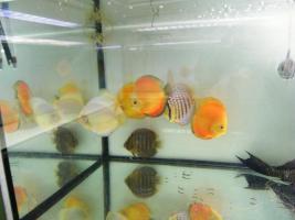 Foto 4 Diskusfische  in verschiedenen farben und größen ab 6 €