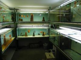 Foto 5 Diskusfische  in verschiedenen farben und größen ab 6 €