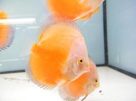Foto 6 Diskusfische  in verschiedenen farben und größen ab 6 €