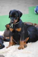 Foto 4 Dobermann Welpen in schwarz-braun