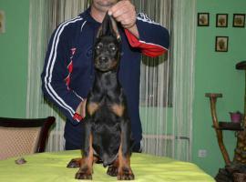 Foto 6 Dobermann Welpen zu verkaufen