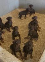 Foto 4 Dobermann Welpen zu verkaufen