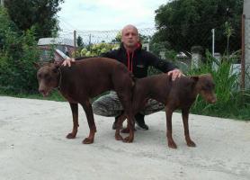 Foto 7 Dobermann Welpen zu verkaufen
