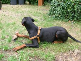 Foto 2 Dobermann ( Welpe) Junghund