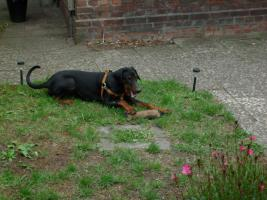 Foto 3 Dobermann ( Welpe) Junghund