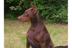 Foto 6 Dobermann ( Welpe) Junghund