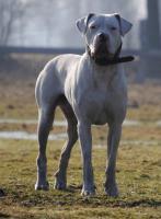 Dogo Argentino Deckrüde