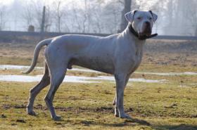 Foto 3 Dogo Argentino Deckrüde