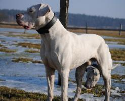 Foto 5 Dogo Argentino Deckrüde
