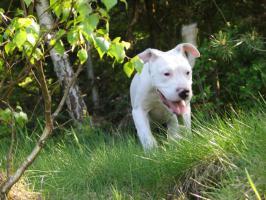 Foto 2 Dogo Argentino Welpen