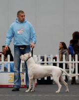 Foto 4 Dogo Argentino süße Welpen zu verkaufen