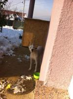 Foto 2 Dogo argentino
