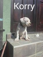 Foto 7 Dogo argentino