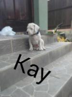 Foto 8 Dogo argentino