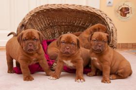 Dogue de Bordeaux Welpen mit hervorragender Abstammung sind zum Verkauf