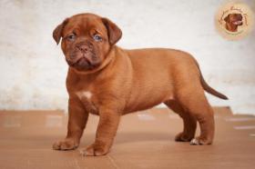 Foto 5 Dogue de Bordeaux Welpen mit hervorragender Abstammung sind zum Verkauf