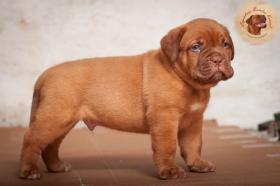Foto 6 Dogue de Bordeaux Welpen mit hervorragender Abstammung sind zum Verkauf