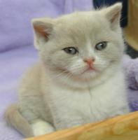 Drei BKH - Kitten suchen noch ein neues zu hause