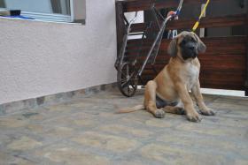 Foto 4 Drei English Mastiff Welpen zum Verkauf