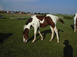 Foto 3 Dreifarbiger, homozygoter Painthorse Hengst for sale