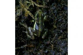 Dreistreifenbaumsteiger (Epipedobates tricolor)