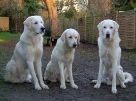 Dringend!! 7 Mon. alten großen Mischlings-Herdenschutzhund zu verkaufen
