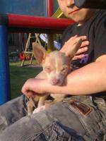 Foto 2 Dringend kleiner Chihuahua Welpe abzugeben :-(