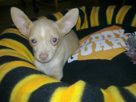Foto 3 Dringend kleiner Chihuahua Welpe abzugeben :-(