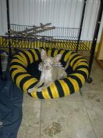 Foto 4 Dringend kleiner Chihuahua Welpe abzugeben :-(