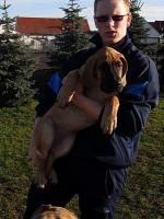 Foto 6 Dt. Doggen Junghunde