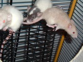 Dumboratten, Rattenbaby, Hausratten