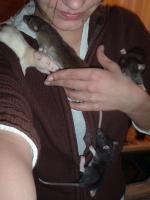 Foto 6 Dumboratten, Rattenbaby, Hausratten