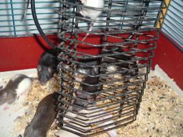 Foto 7 Dumboratten, Rattenbaby, Hausratten