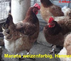 Foto 4 Dunkelbraune BRUTEIER von MARANS