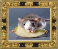 E-Book:Alles über Ratten