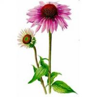 Echinacea 1 kilo Echinacea angustifolia.Behandlung von bakteriellen und Virusinfektionen