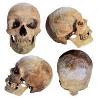Echter menschlicher Schädel, Totenkopf, Totenschädel, Skull