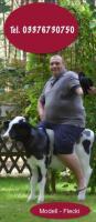 Foto 6 Ein Deko Kuh vieleicht ein Holstein Deko Kuh Modell … ?